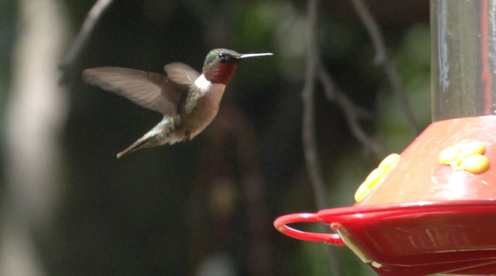 humming bird feature image