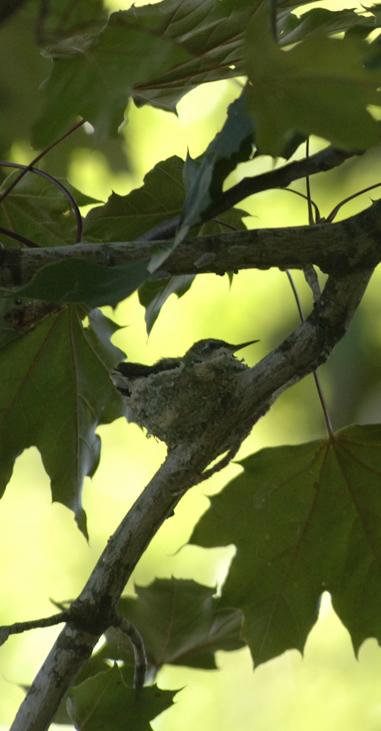 humming bird in nest3