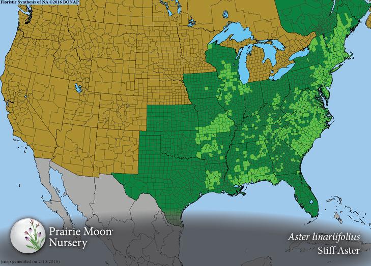 Aster Linariifolius Stiff Aster Prairie Moon Nursery - Us map aster