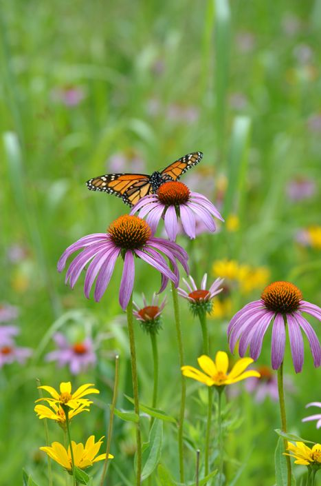 Butterfly And Hummingbird Garden   For Moist Soils