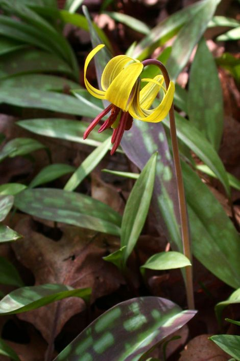 Erythronium americanum yellow trout lily prairie moon nursery erythronium americanum mightylinksfo