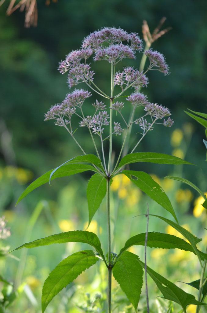 Eutrochium Purpureum Sweet Joe Pye Weed Prairie Moon Nursery