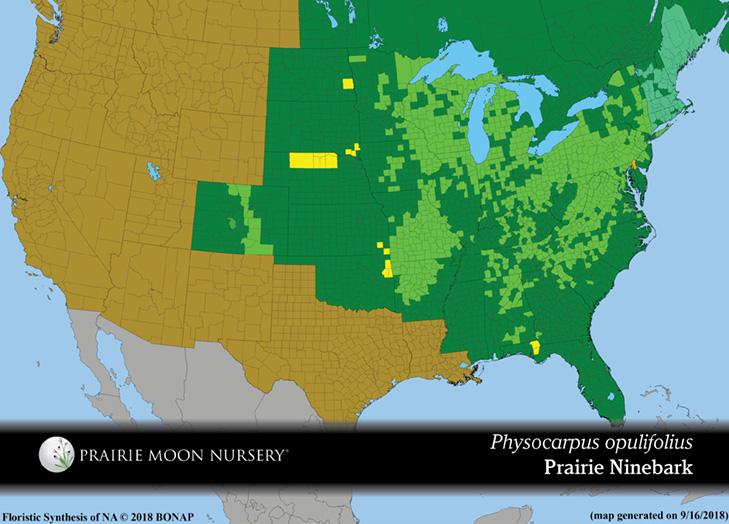 Physocarpus Opulifolius Prairie Ninebark