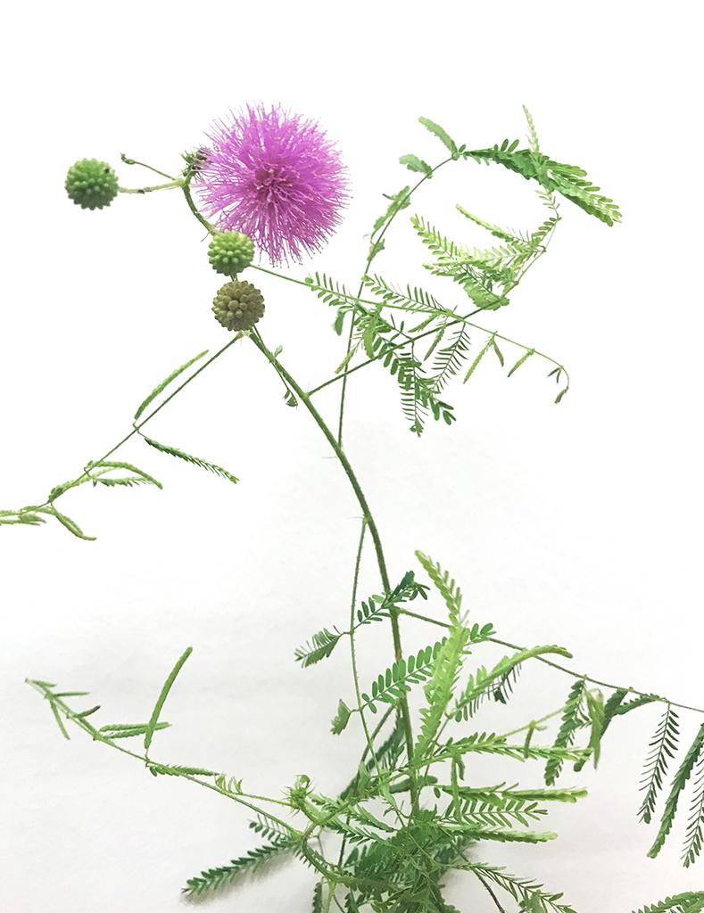 Mimosa Quadrivalis Var Nuttallii Sensitive Plant Prairie Moon Nursery
