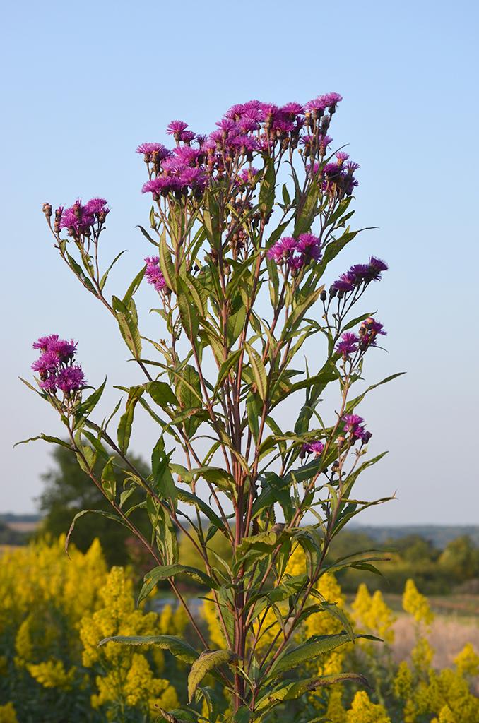 SEEDS~Giant Ironweed Vernonia altissima~SEEDS