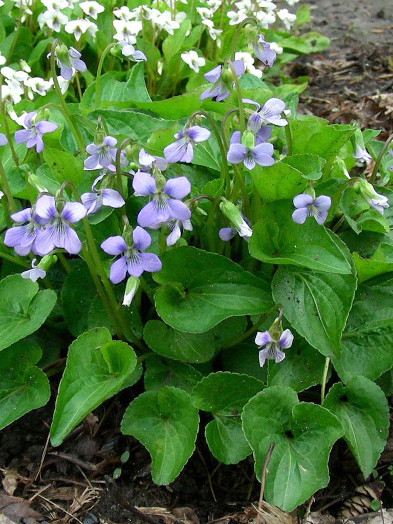 Viola Cucullata Marsh Blue Violet Prairie Moon Nursery