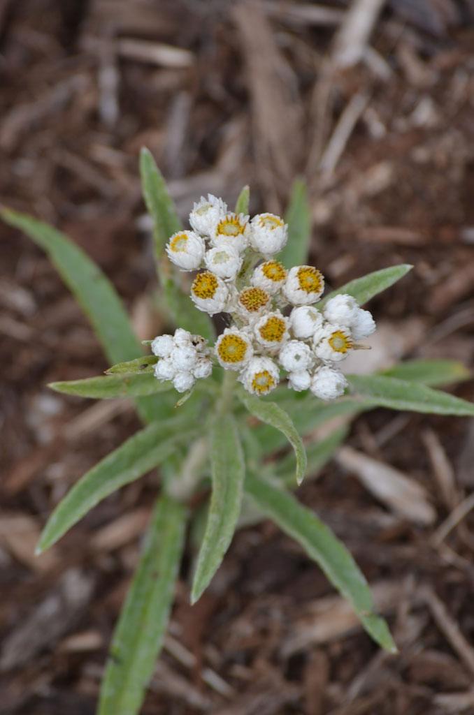Anaphalis margaritacea subsp. margaritacea