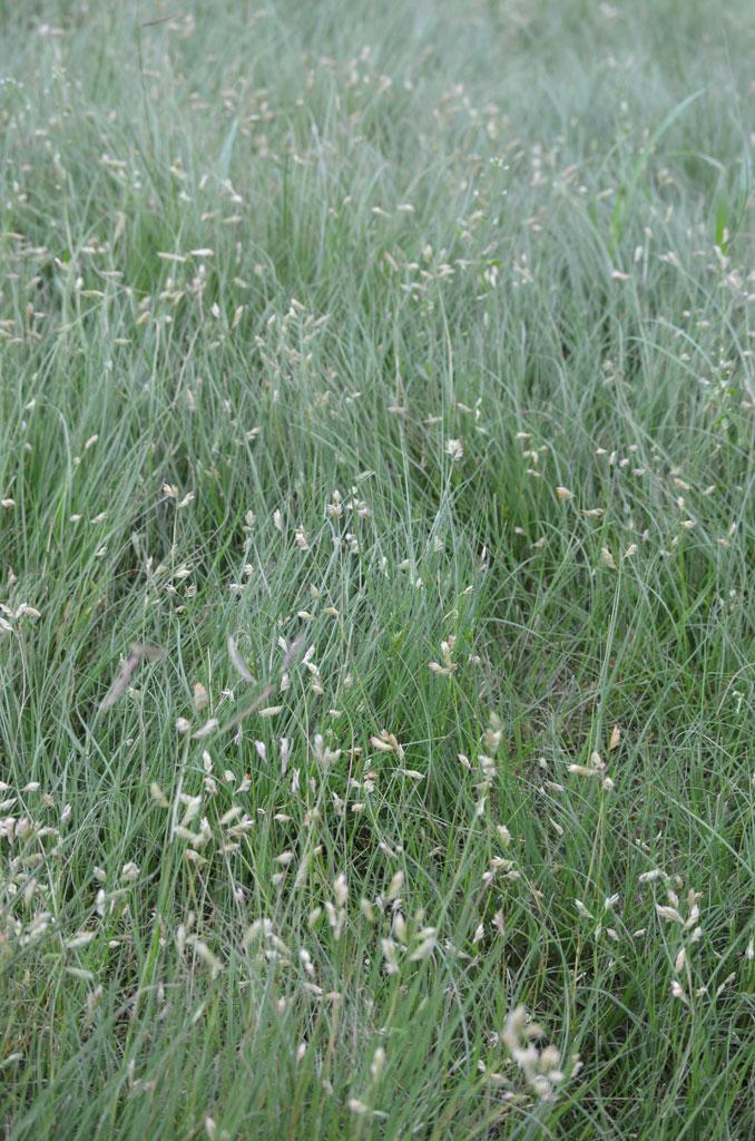Buchloe Dactyloides Buffalo Grass Cultivar Prairie Moon Nursery