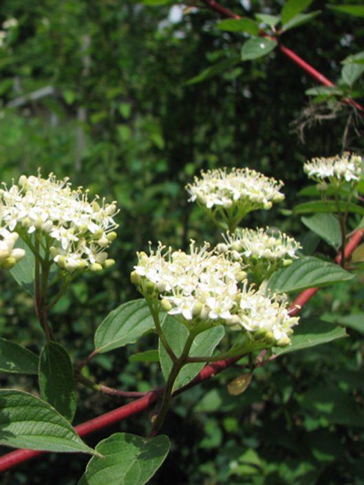 Cornus Stolonifera Red Osier Dogwood