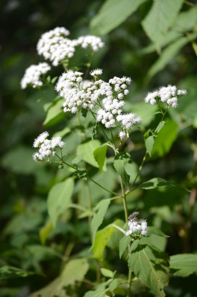 Ageratina Altissima White Snakeroot Prairie Moon Nursery