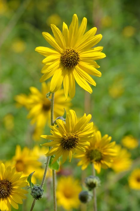 Helianthus Mollis Downy Sunflower Prairie Moon Nursery