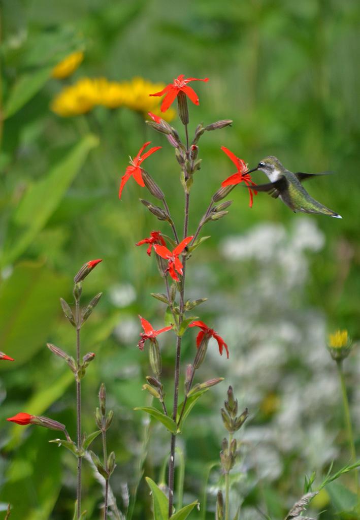 Silene regiaRoyal Catchfly50/_Seeds