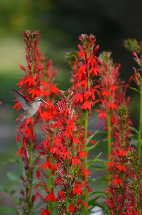Lobelia Cardinalis Cardinal Flower Prairie Moon Nursery