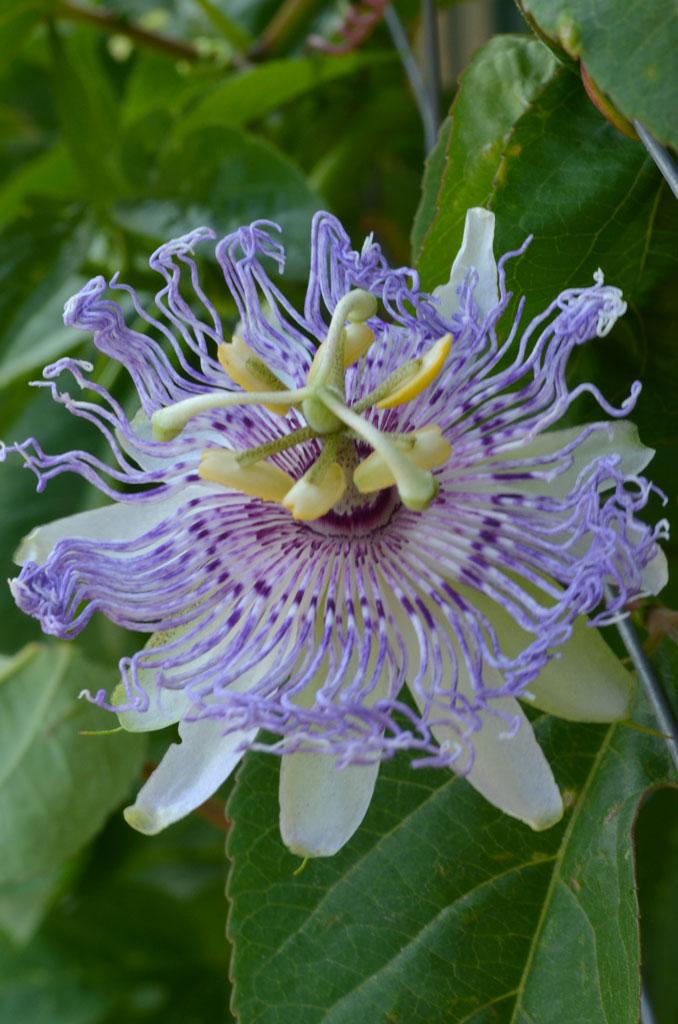 Passiflora Incarnata Purple Passion Flower Prairie Moon Nursery