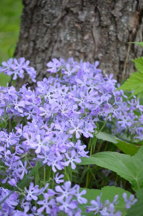 Phlox Divaricata Wild Blue Phlox Prairie Moon Nursery