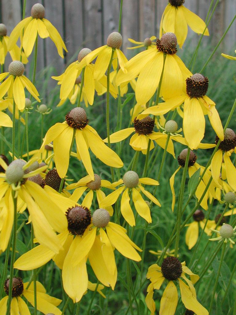 Ratibida Pinnata Yellow Coneflower Prairie Moon Nursery