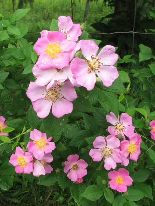 Rosa Setigera Illinois Rose