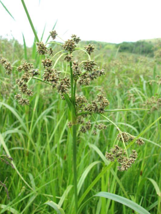 Scirpus atrovirens (Dark-green Bulrush) Seed