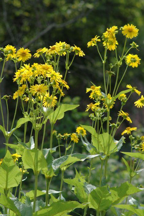 Silphium perfoliatum Cup Plant