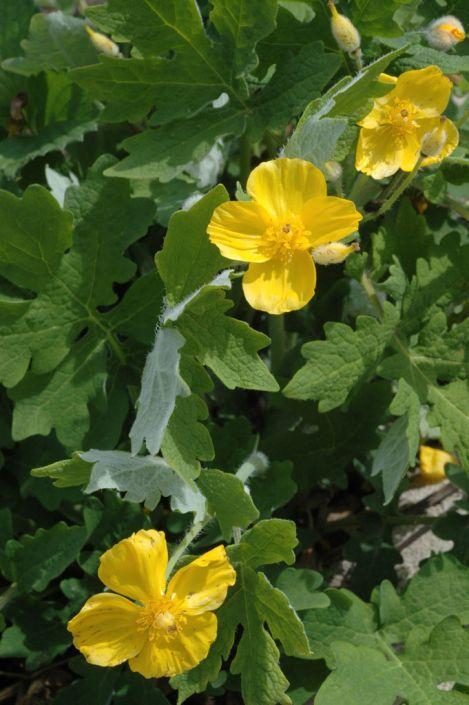 Stylophorum Diphyllum Celandine Poppy Prairie Moon Nursery