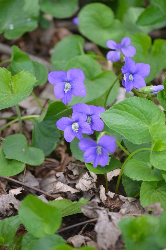 Viola Sororia Common Blue Violet Prairie Moon Nursery